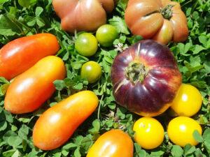 Tomatoes (sold 1 per pot)